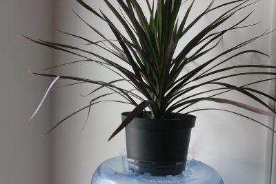 Red Dracaena Toxin Fighting Indoor Plant