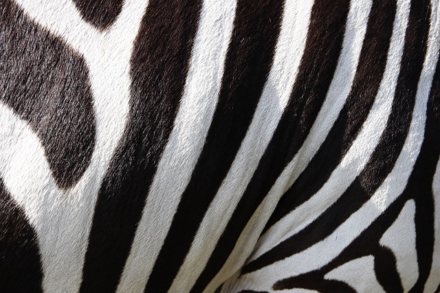 Zebra Black and White